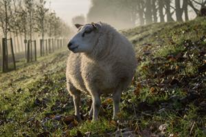 sheep_350